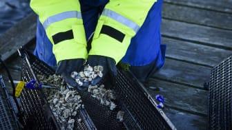 Ostronyngel, både inhemska platta ostron och stillahavsostron, som ska sättas ut vid odlingsanläggningen.