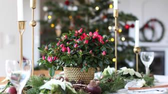 Duka till julens fester med lyxiga azaleor.