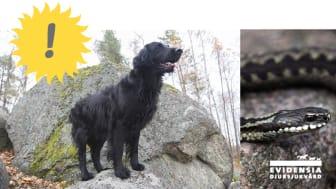 Det spås fint väder till helgen = ormvarning för hund- och kattägare