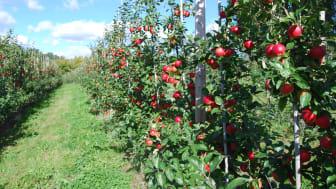 KRAV-märkta svenska äpplen når sällan butiken