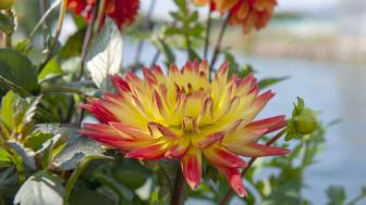 Dahlia blommar fin i augusti.