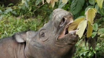 Kertam, en ung Sumatranoshörningshanne från Borneo, vars arvsmassa kartlades i studien. Foto: Scuba Zoo