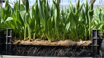Tulpaner hos Olles Blommor som snart är redo att skördas