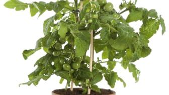 Tomatplantor i mindre krukor behöver planteras om i en större kruka med stor jordvolym för att kunna växa sig stora.