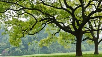 Das Kampferlorbeergewächs ist ein immergrüner Baum. Bild: ZHAOJIANKANG | fotolia