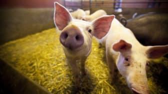 Sveriges grisföretagare får smaka på exporten