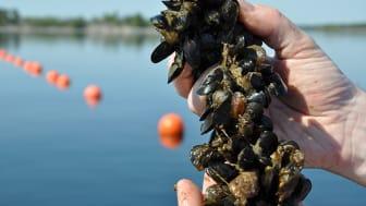 Nyskördade musslor. Foto: Lena Tasse, Region Östergötland