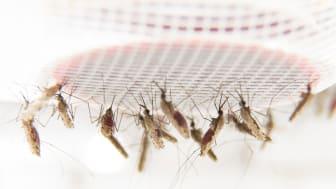 Blodsugande malariamyggor i laboratoriet vid Stockholms universitet.
