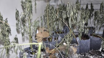 Cannabis farm Riding Close St Helens