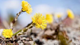 Blommande tussilago. (Foto: Gert Olsson)