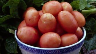 Foto: Philippe Hässlekvist (bilden som också finns med i utställningen visar potatissorten Silla).