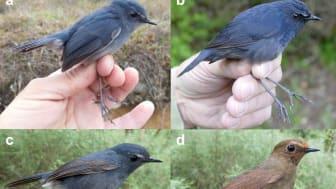 Tre arter som tidigare sågs som blå kortvinge (bild a och c), Himalayakortvinge (bild b, d, f) och taiwanesisk kortvinge (bild e). Foto: Per Alström, Chengte Yao och Tang Jun/China Bird Tour.