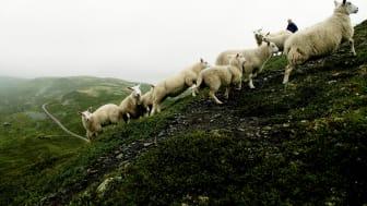 Konsekvenser av redusert kjøttforbruk i Norge