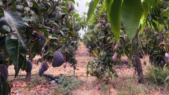 Nu är det säsong för spansk mango