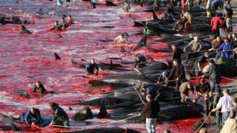 Morddrohungen gegenüber Tierschützer anlässlich Demo gegen Grindwaljagd auf den Färöer-Inseln