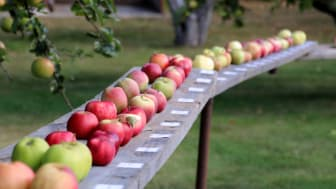 Äppelveckor istället för Äppelmarknad på Österlen