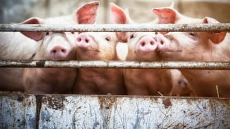 Antibiotic resistance is one of the biggest threats to global public health - still overuse of antibiotics in global food production is widespread, contributing to a growing antibiotic resistance. (Photo: Istock.com/T-lorien)