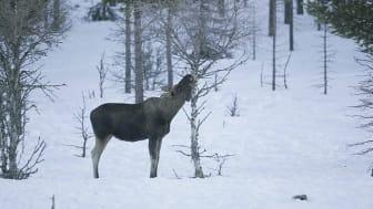 I Skandinavien har vargen ingen eller mycket begränsad inverkan på täthet av älgar, betesskador på tall och på mångfalden av lövträd. Foto: Kjell Erik Moseid