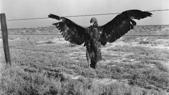 A very blue eagle. Along California highway. Nov 1936.
