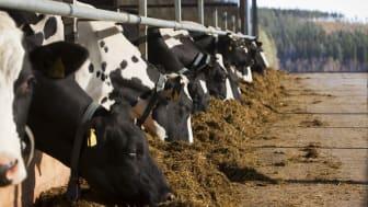 Mjölkkor i Norrland