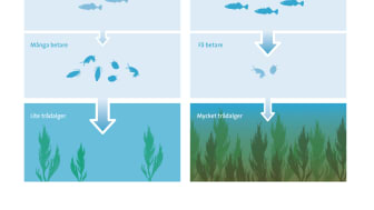 Rovfiskeffekter