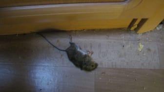 Campingvogn - død mus