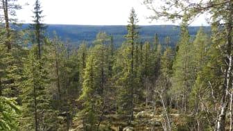 Naturskogarna i fjällområdet är det största intakta skogslandskap som fortfarande finns kvar i Europa. Foto: Uno Skog, Länsstyrelsen i Dalarnas län.