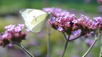 Fjärilsväxter