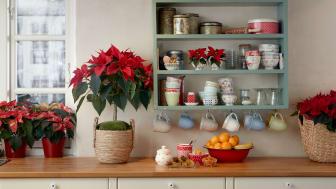 Julstjärnor i röda nyanser är de mest klassiska och de som många förknippar allra mest med jul.