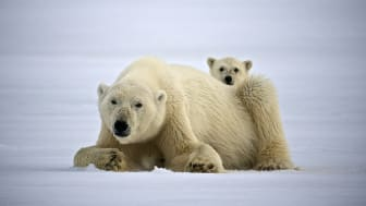 POLAR RESEARCH SUPPORT: Hurtigruten Foundation grants funds to projects, communities and organizations. Among them projects working to conserving the polar bear population. Photo: DOMINIC BARRINGTON/Hurtigruten