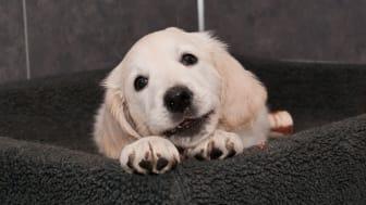Rashunden fortfarande mest populär