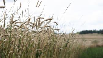 Rekordstor skörd av ekologiska spannmål