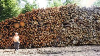 Store og gamle bøge og egetræer er også at finde i bunkerne til flisproduktion i statens del af Gribskov. Foto: Søren Wium Andersen