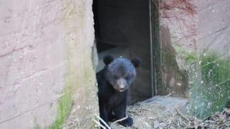 Björnunge tittar ut ur idet.