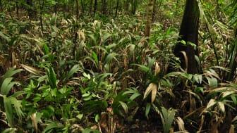 Palmarten Bactris bifida i Amazonas, en av palmerna som kartlagts.
