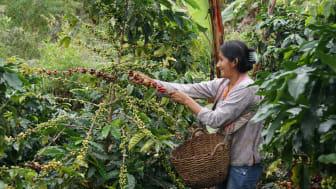 Sodexo increased to 53 per cent Fairtrade coffee