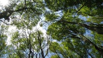 Ju tätare krontak, desto större kyleffekt i underbestånden och på markytan. Krontak i Stenshuvuds nationalpark, en av de platser som ingår i nätverket ForestREplot för skogliga långtidsobservationer. Foto: Jörg Brunet