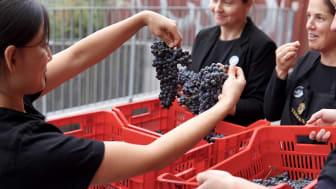 Druvorna har anlänt från Toscana till årets vinframställning på The Winery Hotel