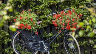 """""""Sommaren skulle cykla omkull och skrapa knäna om det inte fanns pelargoner!"""" Ernst Kirchsteiger"""