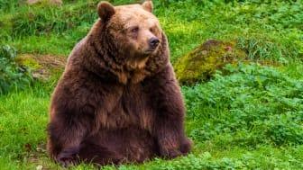 Björnhonan Ester har samlat på sig fettreserver som hon sedan ska leva på under den långa vintervilan.