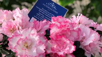 Att köpa en azalea till Far blir en dubbel gåva eftersom alla som köper en azalea med Victoriafondssigill i den här veckan även stöder Kronprinsessan Victorias fond.