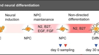 Bild från DNA methylation changes in Down syndrome derived neural iPSCs uncover co-dysregulation of ZNF and HOX3 families of transcription factors. DOI: 10.1186/s13148-019-0803-1