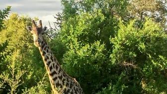 """""""Plötsligt stod där en hel familj giraffer precis intill vägen."""" Att göra sina Minor Field Studies i Zambia har sina överraskningsmoment."""