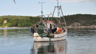 Trålning efter räka. Här används en trål med rist (galler). Trålen har en flyktöppning i taket genom vilken fisk och större skaldjur som inte kan passera ristgallret släpps ut. Foto: Mattias Sköld, SLU Aqua.