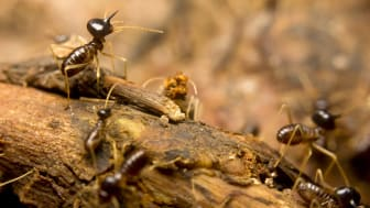 Studiet viste også, at i primær skov som regnskoven bidrager termitter til økosystemets trivsel og modstandsevne over for tørke.