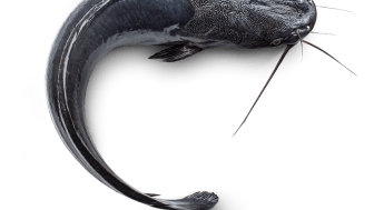 Clarias fisk.png