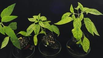 Three plants infected with begomovirus