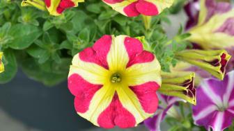 Ser du hjärtat i blomman? Petunia Amore är namnet på denna skönhet!