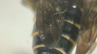 Träkägelbi (Coelioxys alatus)