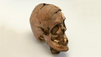 Kraniet her viste sig at indeholde noget særligt - i munden fandt arkæologer ved nærmere undersøgelse et lille stykke guld. Foto: Trine Sejthen, Museumskoncernen ROMU